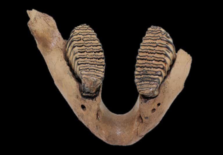mammuthus